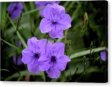 Purple Mexican Flower Ruella Canvas Print by Tamra Lockard