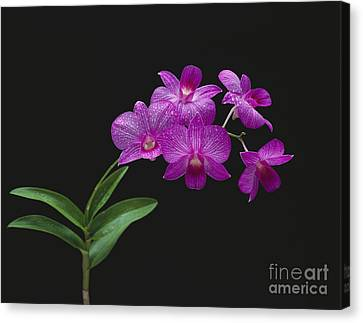 Purple Orchids - Black Background Canvas Print by Tomas del Amo - Printscapes