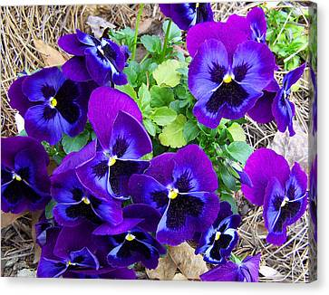 Canvas Print featuring the photograph Purple Pansies by Sandi OReilly