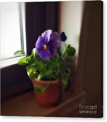 Purple Pansy On My Windowsill Canvas Print