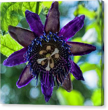 Purple Passion Flower Canvas Print by Phyllis Taylor