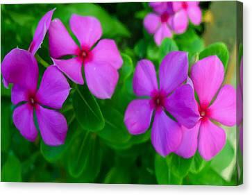 Purple Periwinkle Flower 2 Canvas Print by Lanjee Chee