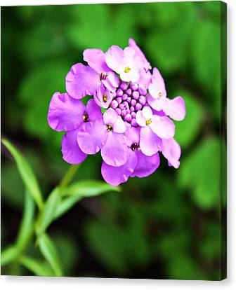 Purple Pincushion Flower Canvas Print by Cathie Tyler