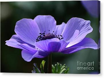 Purple Poppy Mona Lisa Canvas Print