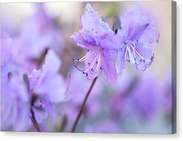 Canvas Print featuring the photograph Purple Rhododendron 1. Spring Watercolors by Jenny Rainbow