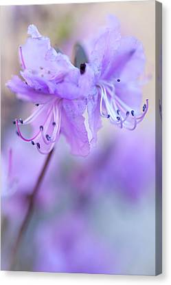 Canvas Print featuring the photograph Purple Rhododendron. Spring Watercolors by Jenny Rainbow