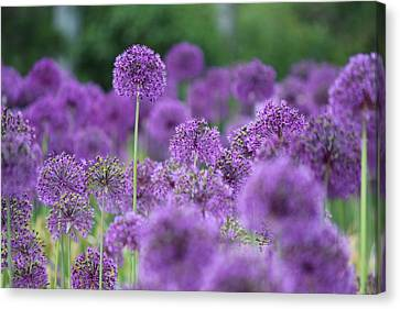 Purple Sensations Canvas Print by Nicholas Miller
