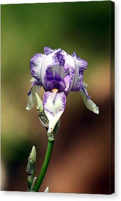 Canvas Print featuring the photograph Purple Striped Bearded Iris by Sheila Brown