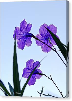 Purple Trio Canvas Print by Christopher Holmes