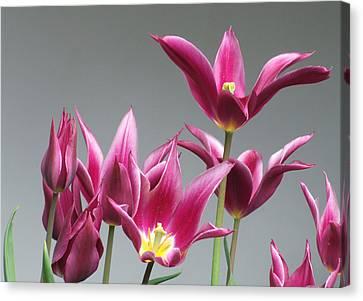 Purple Tulips Canvas Print by Helen Northcott