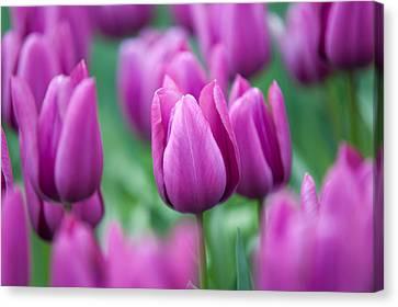 Purple Tulips Of Keukenhof Canvas Print by Jenny Rainbow