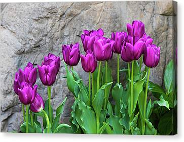 Franklin Park Canvas Print - Purple Tulips by Tom Mc Nemar