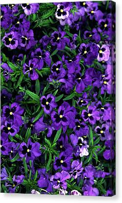 Purple Viola Flowers Canvas Print by Sally Weigand