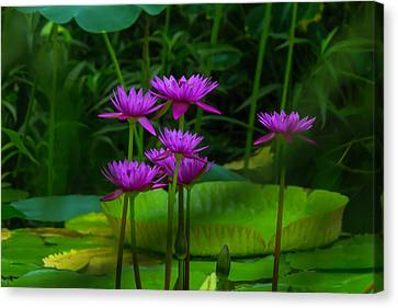 Purple Water Lilies Canvas Print by Garry Gay