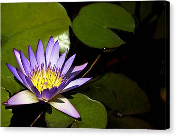 Purple Water Lilly Canvas Print by Teresa Mucha