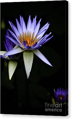 Purple Waterlily Canvas Print by Avalon Fine Art Photography