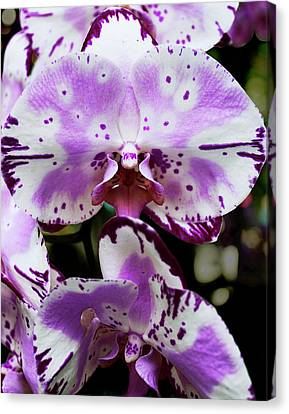 Purple And White Orchid Canvas Print