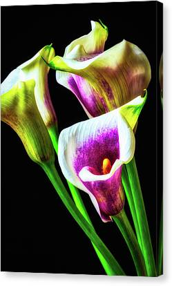 Purple White Glowing Calla Lilies Canvas Print by Garry Gay