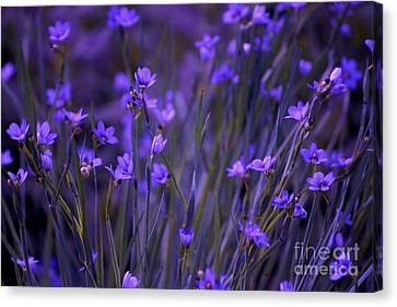 Purple Wildflowers In A Field Canvas Print