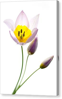 Purple Yellow Tulip 2 Canvas Print by Rebecca Cozart