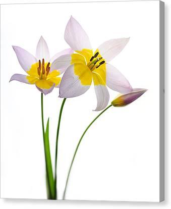 Purple Yellow Tulips 1 Canvas Print by Rebecca Cozart
