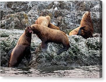 Sea Lions Canvas Print - Push Comes To Shove by Mike Dawson