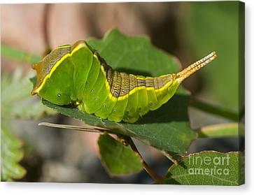 Puss Caterpillar Canvas Print - Puss Moth Caterpillar by Steen Drozd Lund