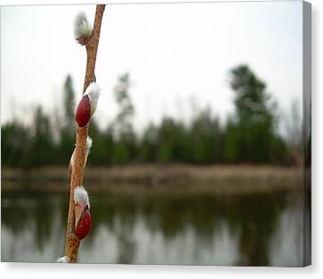 Canvas Print featuring the photograph Pussy Willow Buds by Kent Lorentzen