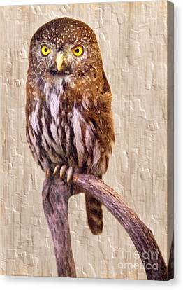 Pygmy Owl Canvas Print by David Millenheft