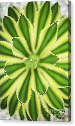 Quadricolor Agave Plant Canvas Print by Charmian Vistaunet