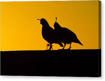 Quail At Sunset Canvas Print