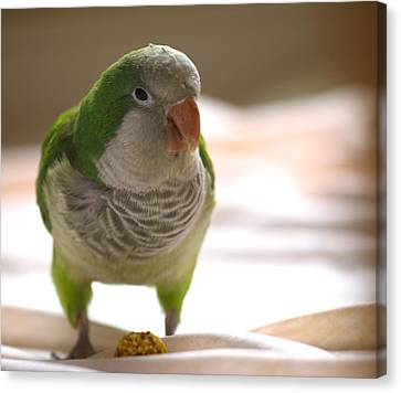 Quaker Parrot Canvas Print by Mark Platt
