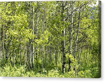 Quaking Aspens 2 Canvas Print by Cynthia Powell