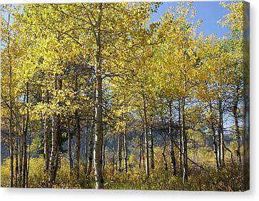 Quaking Aspens Canvas Print by Cynthia Powell