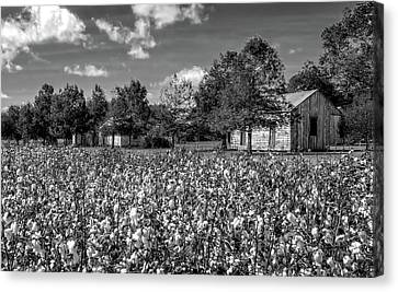 Quarters Viewed From Cotton Field At Frogmore Plantation  -  Bw Canvas Print by Frank J Benz