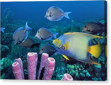 Queen Angelfish And Blue Tangs Canvas Print