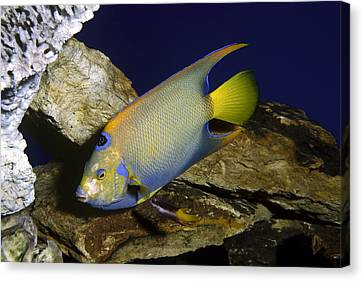 Queen Angelfish Canvas Print by Sally Weigand