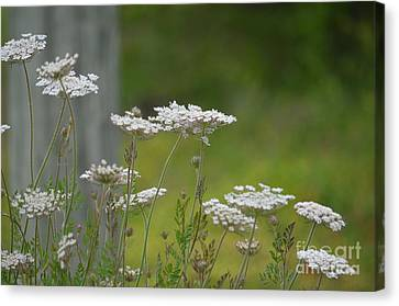Queen Anne Lace Wildflowers Canvas Print by Maria Urso