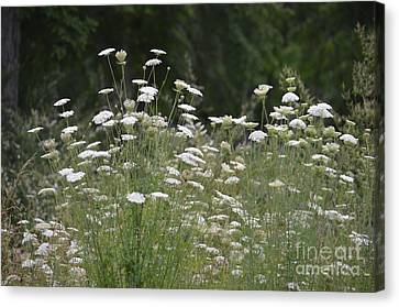 Queen Anne's Lace 16-01 Canvas Print by Maria Urso
