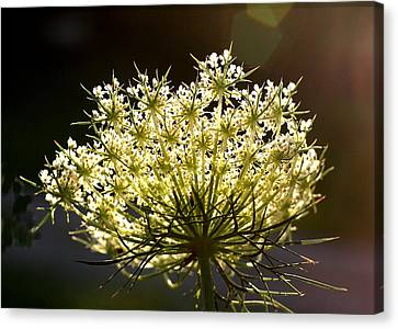 Canvas Print featuring the photograph Queen Anne's Lace by Diane Merkle