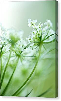 Canvas Print featuring the photograph Queen Anne's Lace by Jane Melgaard