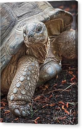 Queen Tortoise Canvas Print by Jamie Pham
