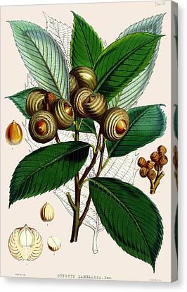 Quercus Lamellosa Canvas Print by Joseph Dalton Hooker