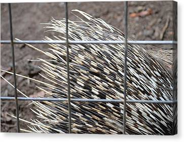 Quills Of An African Porcupine Canvas Print by Linda Geiger