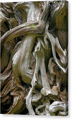 Quinault Valley Olympic Peninsula Wa - Exposed Root Structure Of A Giant Tree Canvas Print by Christine Till