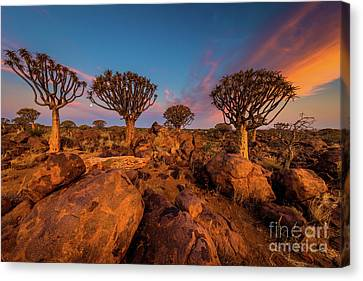 Quiver Trees 9 Canvas Print by Inge Johnsson