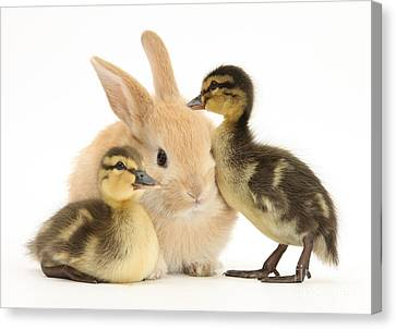 Rabbit And Ducklings Canvas Print by Mark Taylor