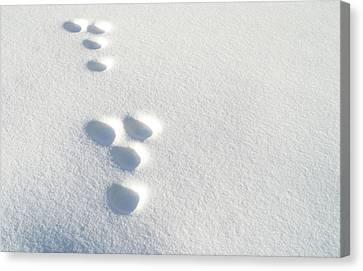 Rabbit Footprints In The Snow 2 Canvas Print by Jack Dagley