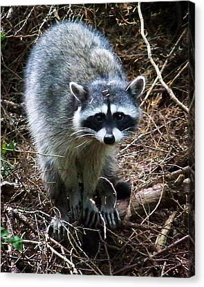 Raccoon  Canvas Print by Anthony Jones
