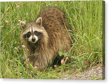 Canvas Print featuring the photograph Raccoon  by Doris Potter